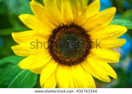Close up of wet brilliant yellow sunflower