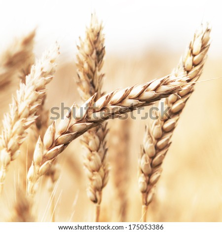 Close up of wheat ears - stock photo