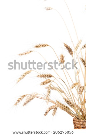 Close up of wheat ears on a white background