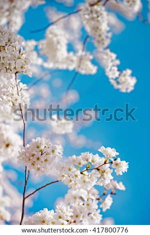 Close up of white and pink cherry blossoms in bloom during springtime in Washington DC with blue filtered colorized grain effect - stock photo