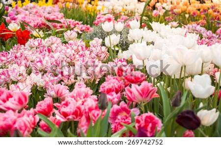 Close up of White and Pink tulips in the spring garden. Shallow DOF. - stock photo