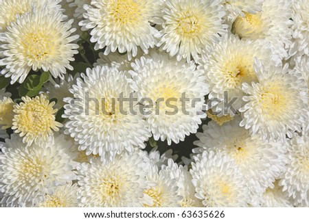 Close up of white and yellow chrysanthemums - stock photo