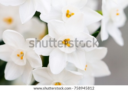 Closeup white daffodil flowers known paperwhite stock photo royalty close up of white daffodil flowers known as paperwhite narcissus papyraceus in green mightylinksfo