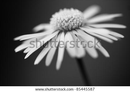 Black And White Daisy Wallpaper