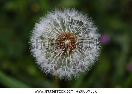 Close-up of white delicate dandelion - stock photo