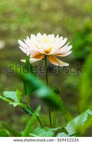 Close Up of White Dhalia Flower, Thailand. - stock photo