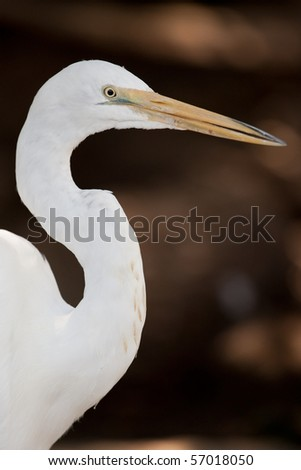 Close up of White Egret with large eyes and sharp beak in front of a clean background.
