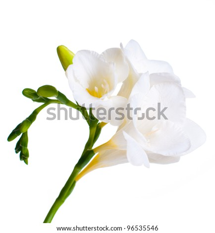 Close up of white freesia flowers