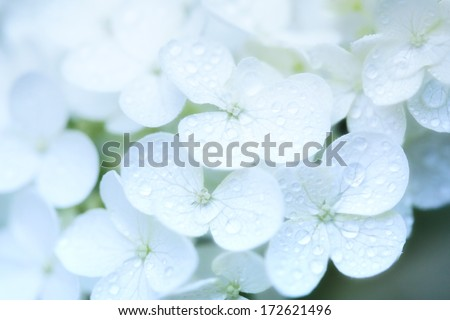 close-up of white hydrangea flowers with dew drops, for texture or background - stock photo