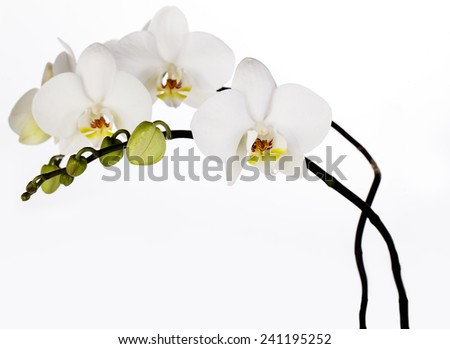 Close Up of white Orchid Flower with blossoms and buds - stock photo