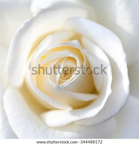 close up of white rose - stock photo