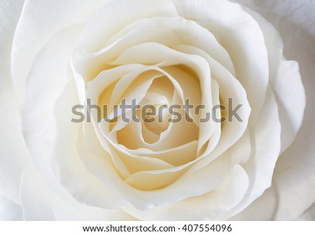 close up of white rose petals. Selective focus. Flowers background - stock photo