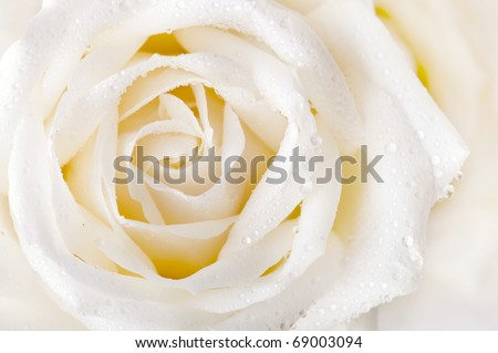 Close up of white rose with dew - stock photo