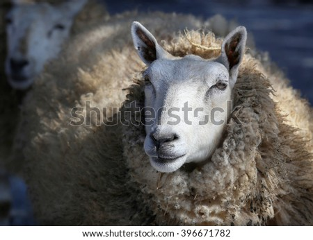 close up of white sheep - stock photo