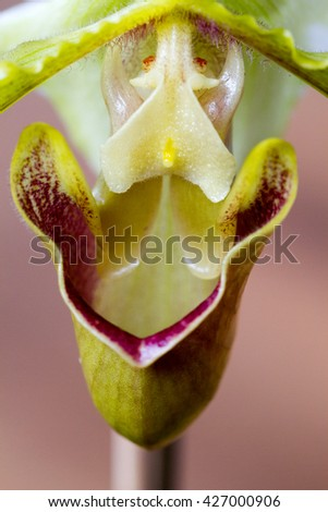 Close-up of white, yellow and purple Ladyâ??s Slipper (Paphiopedilum) orchid - stock photo