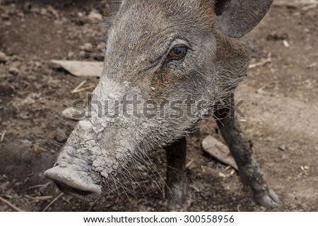 Close up of wild boars in nature.face closeup of a wild boar - stock photo