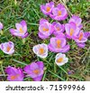 Close-up of wild crocus flowers - stock photo
