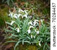 Close up of wild primrose flowers - stock photo