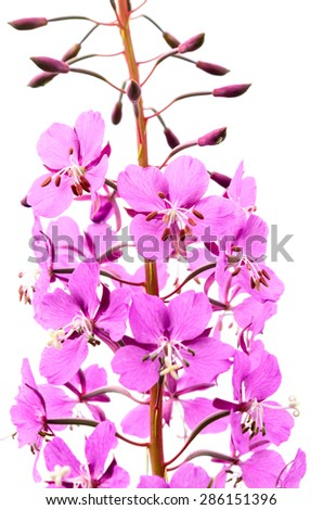 Close-up of wild purple lupines with long stem isolated on white background