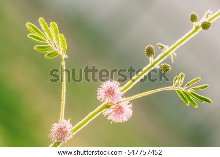 Close up of Wild Sensitive Plant Flower or Mimosa Pudica Flower