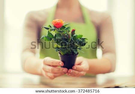 close up of woman hands holding roses bush in pot - stock photo