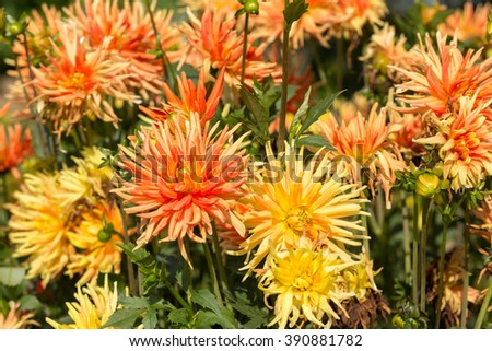 Close up of yellow and orange dahlia flower in garden