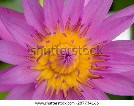 Close up of yellow and pink lotus flower in the garden. It was beautifully blooming. - stock photo