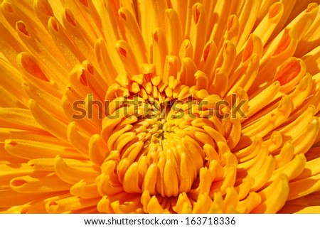 close up of yellow chrysanthemum