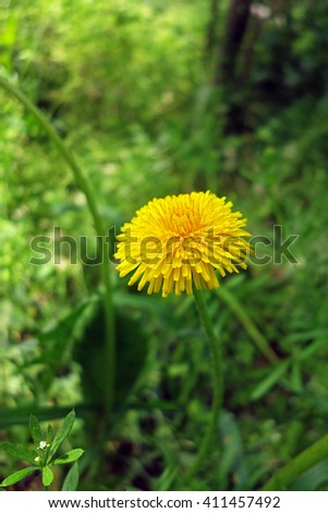 Close-up of yellow dandelion flower on green background                                - stock photo