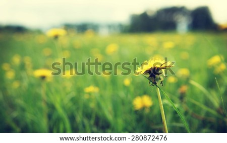 Close up of yellow dandelion on the meadow. Shallow depth of field - stock photo