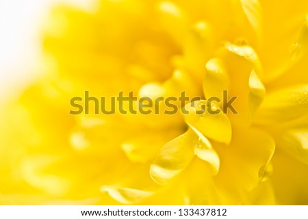 Close up of yellow flower aster, daisy - stock photo
