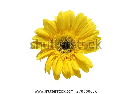 Close up of yellow gerbera daisy on white background.  - stock photo