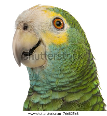 Close-up of Yellow-shouldered Amazon, Amazona barbadensis, in front of white background - stock photo