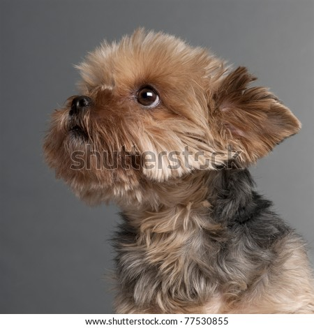 Close-up of Yorkshire Terrier, 7 years old, in front of grey background