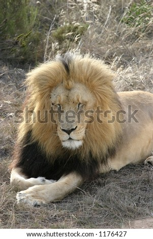 Close Up of young Adult Male Lion Sleeping in South African Grasslands - stock photo