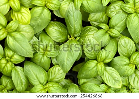 Close up of young basil plants.  Shallow depth of field. - stock photo