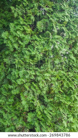 close-up of young green arborvitae branch - stock photo