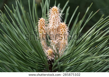 Close up of Young Green Pine Branches - stock photo