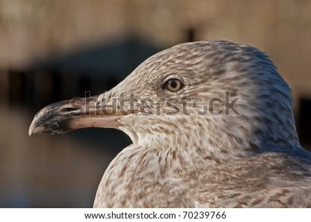 Close-up of young herring gull