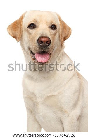 Close-up of young Labrador on isolated white background - stock photo