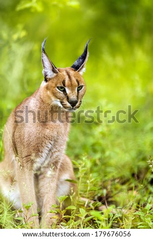 Close up of young male caracal waiting in green forest.  - stock photo