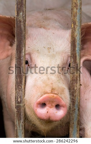 Close up of young pig - stock photo
