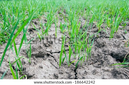close-up of young sprouts of wheat in a field on a sunny summer day - stock photo