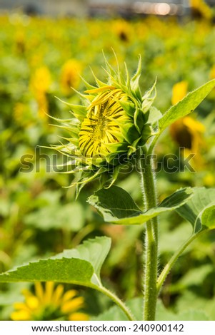 Close up of young sunflower in the field, Thailand. - stock photo
