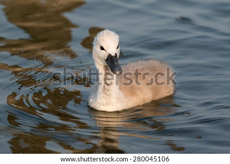 Close up of young swan - stock photo