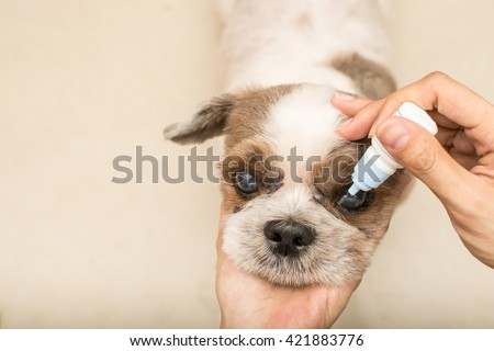 Close up old dog with women hand vet treats eye - stock photo