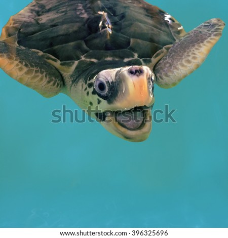 Close-up olive green turtle, sea turtle in blue water, olive green turtle in water, smiling turtle photo, sea turtle smiling, adult turtle, tropical animal, sea animal in water, swimming turtle - stock photo