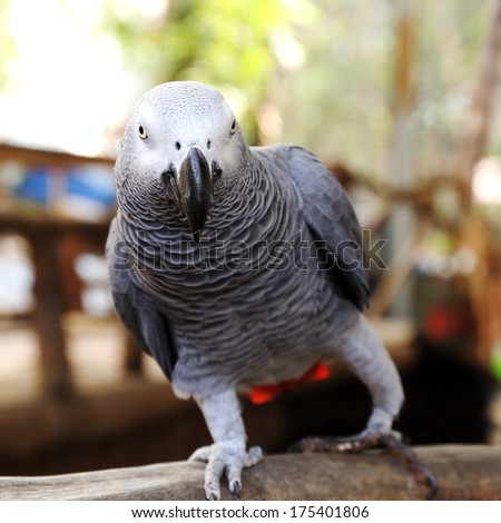 close up on a African Grey Parrot  - stock photo
