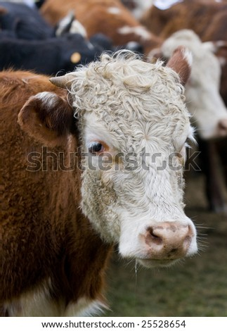 close up on a cow in uruguay farm land