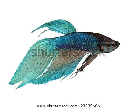 Close-up on a fish skin - blue Siamese fighting fish - Betta Splendens in front of a white background - stock photo